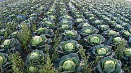 Многие считают, что ухаживать за капустой требуется на первоначальном этапе роста, а дальше она растет сама