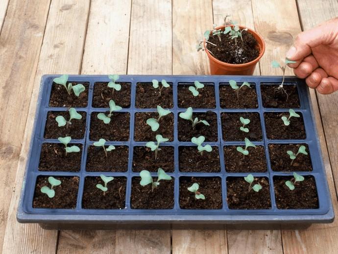 Каждое растение, которое выращивается через рассаду, требует определенного времени произрастания в тепличных или домашних условиях
