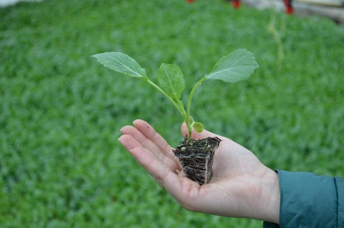 Несмотря на особенности климата Урала, выращивать капусту в этом регионе из семян начали еще несколько столетий назад