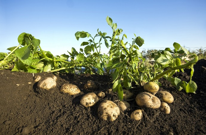Только при посадке в прогретую почву можно защитить растения от всевозможных болезней