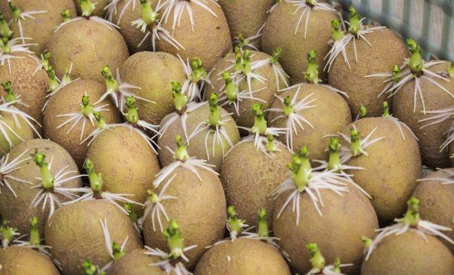 На семена следует отобрать клубни около 4-5 см в диаметре