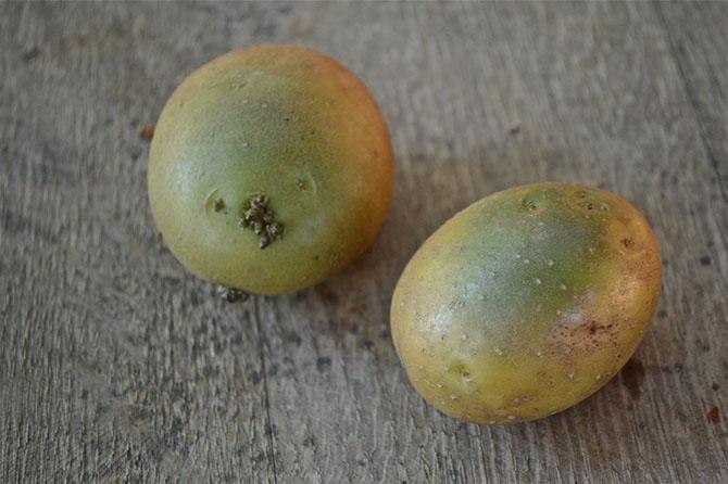 После отбора семенного материала следует выдержать его на ярком свету, чтобы картофелины позеленели