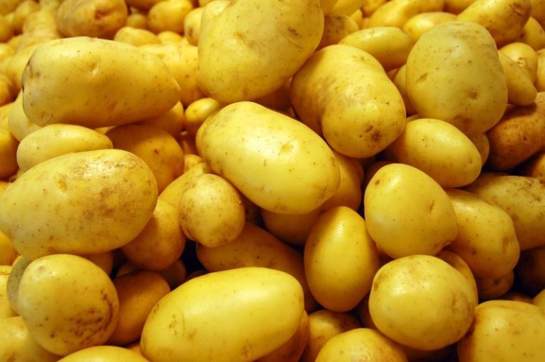 Выращивая картофель в теплице с обогревом, можно получить и очень ранний урожай молодых клубней