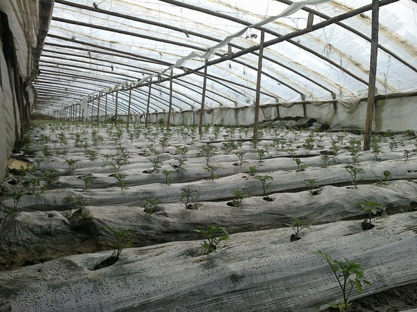 Китайцы, как настоящие знатоки сельского хозяйства, нашли универсальную конструкцию теплиц