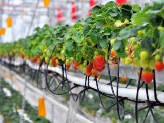 Из всех культур, которые могут выращиваться на гидропонике, клубника занимает далеко не последнее место