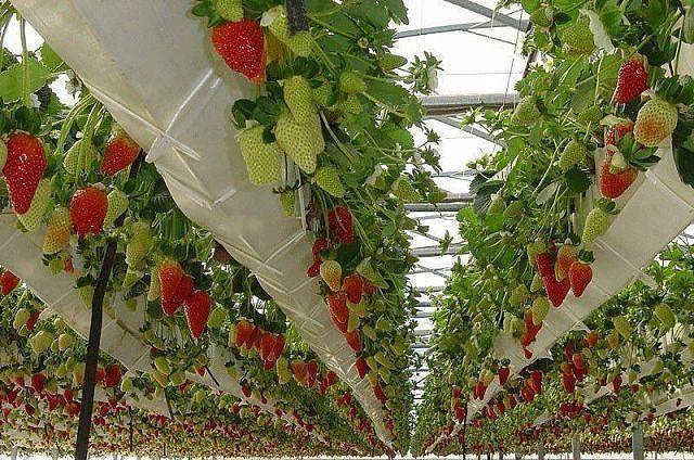 Израильские технологии выращивания клубники 91