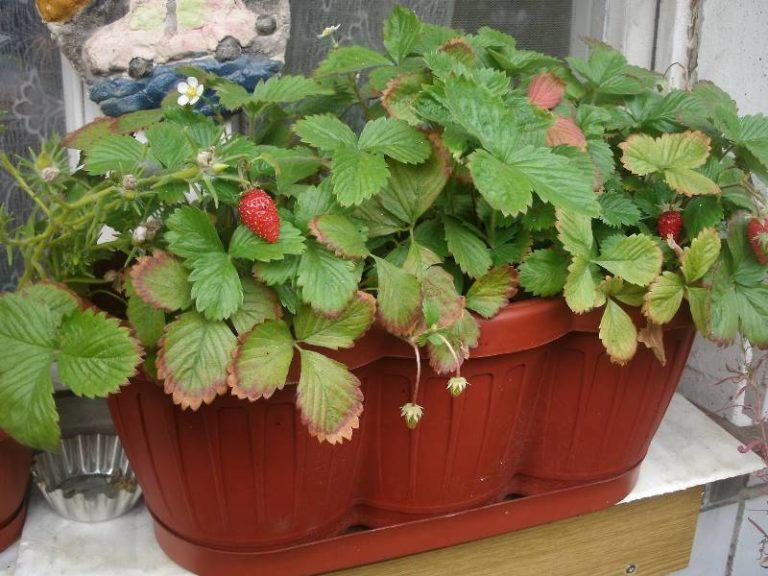 Как выращивать землянику в домашних условиях из семян