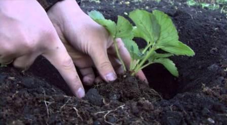 Посадка клубники осенью поможет получать стабильные и высокие урожаи