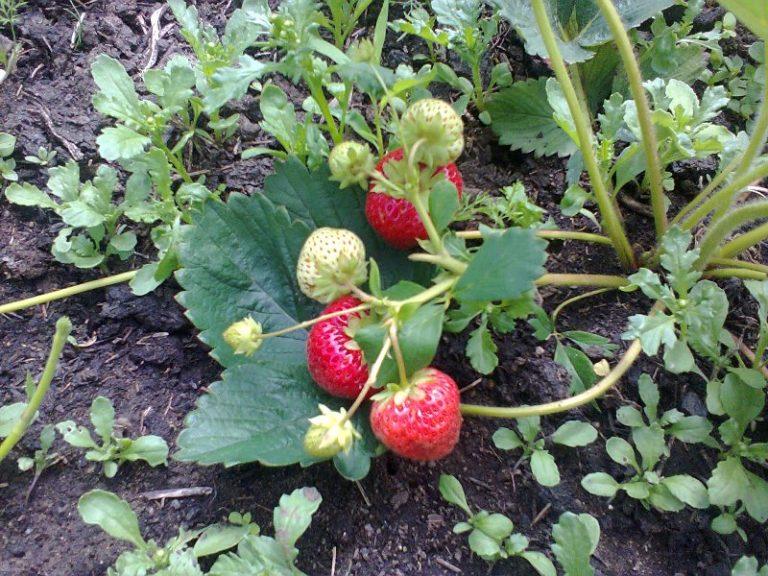 Некоторые сорта клубники плодоносят 2 раза за сезон