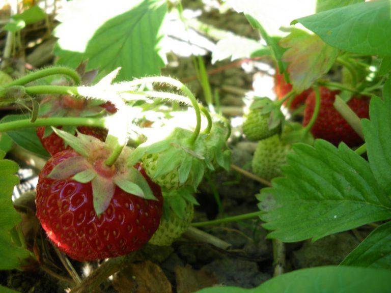 Для успешного выращивания клубники важно правильно выбрать сорт