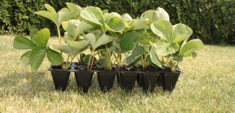 Чтобы защитить молодые растения от вредителей, их можно подержать в чесночном настое
