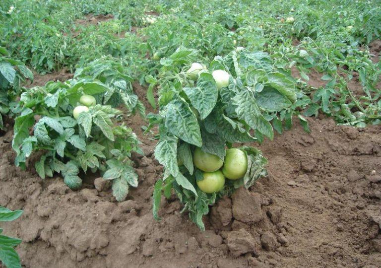томат супер клуша отзывы фото урожайность