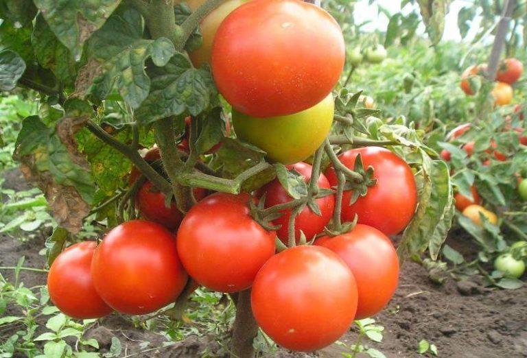 Плоды вырастают средние, до 100 г.