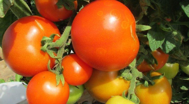 На каждой ветке созревает до 6-7 помидоров