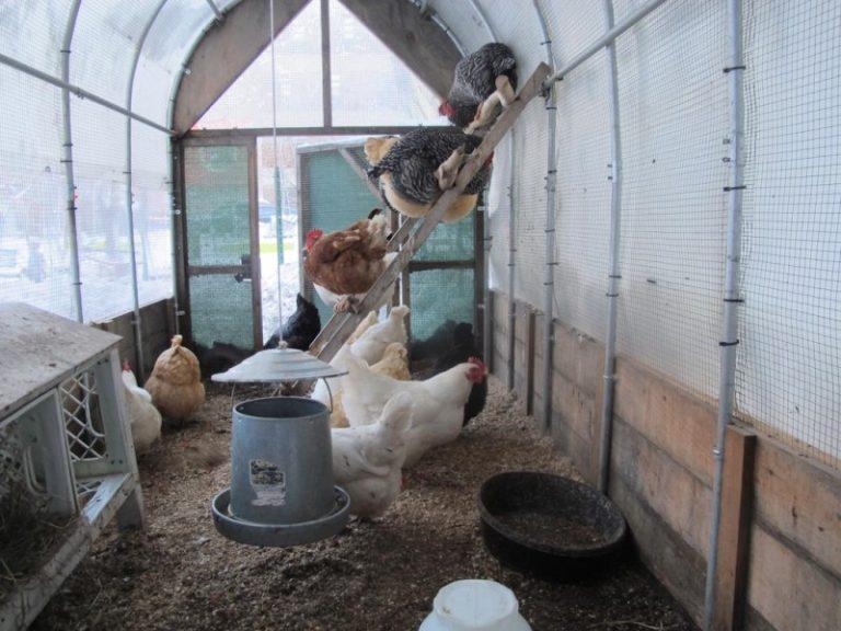 Самое важное в содержании кур в теплице зимой — исключить сквозняки и поддерживать теплую температуру в помещении даже в самые холодные дни