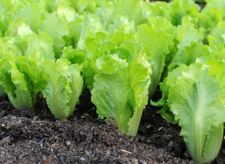Листовой салат - травянистое растение, польза от него огромная