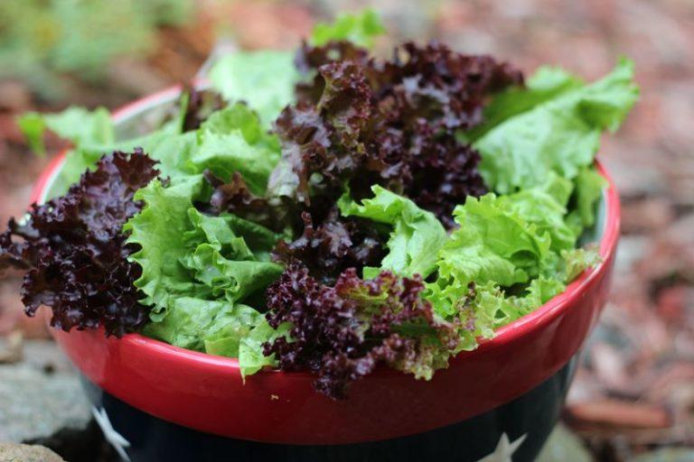 Польза культуры неоценима. Листовой салат необходимо кушать в любом возрасте