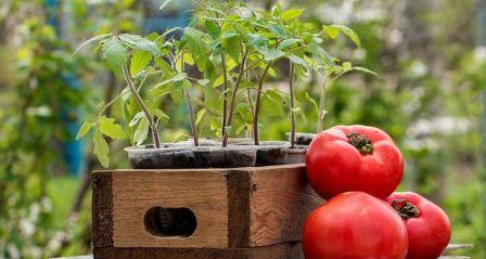 Для большинства садоводов и огородников знакомо такое понятие, как лунный календарь высадки помидор
