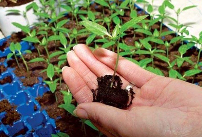 Если посадить томаты, учитывая лунный календарь посадки, при растущей Луне, активность роста повышается, поскольку томаты растут вверх