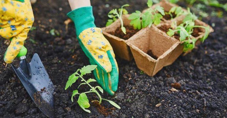 Посадка рассады в открытый грунт производится с середины апреля и до середины мая