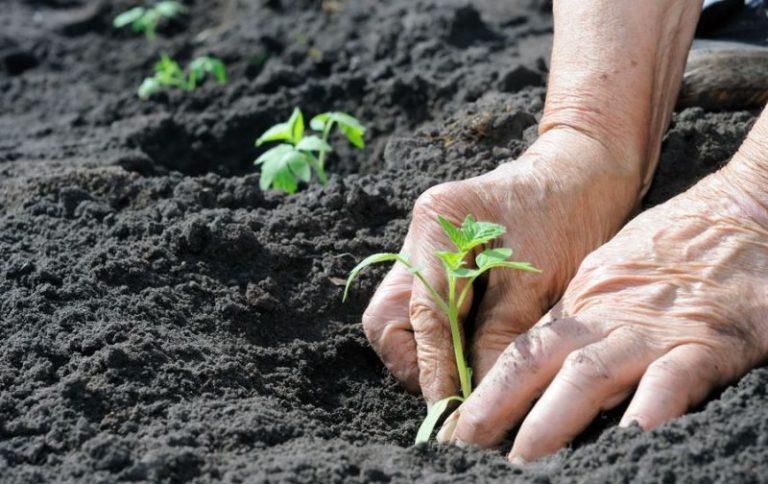 Лучше всего высадку томатов в открытый грунт выполнять при пасмурной погоде, в утренние или вечерние часы