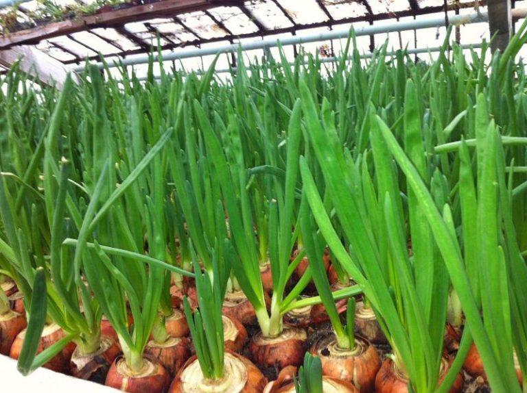 Лук на зелень: как вырастить из семян, какой и когда сажать,.