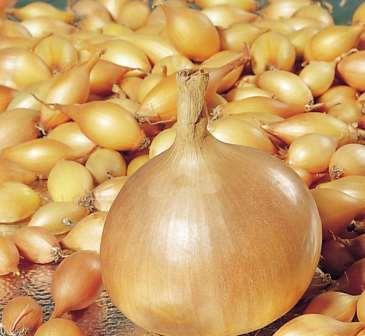 Основным условием для получения хорошего урожая является качественный посадочный материал