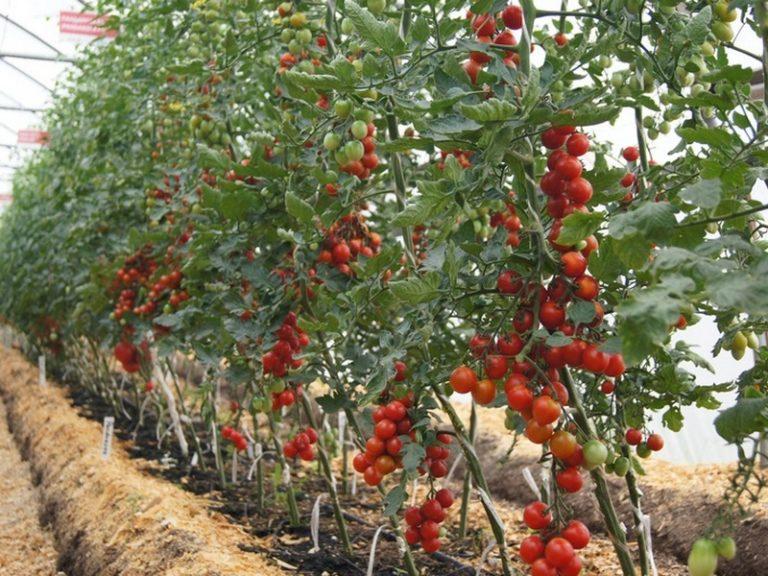 В тепличных условиях высаживают высокорослые сорта, которые отличаются повышенной урожайностью