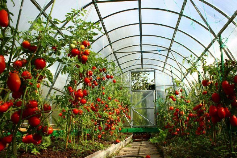 Были выведены сорта томатов, которые не подвержены многим опасным вирусным и грибковым заболеваниям
