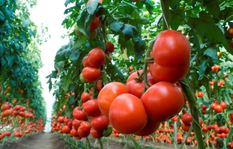 Среднеспелый и очень урожайный гибрид предназначен для выращивания в тепличных условиях