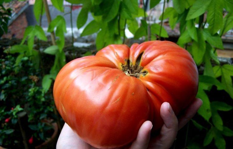 Крупные плоды вырастают до 800 г, но средний томат способен набрать вес до 350-400 г.