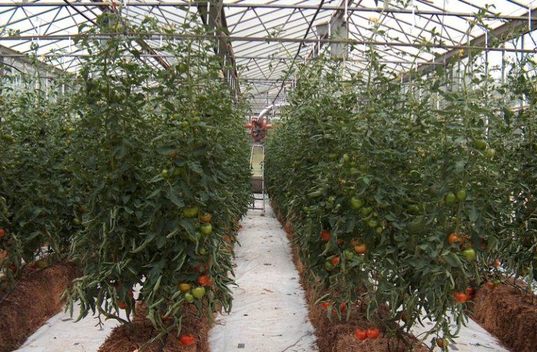 По наблюдениям Игоря Маслова, помидоры любят пересадки, и еще одна пойдет им только на пользу