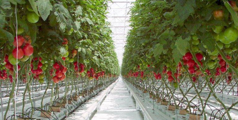 Выращивание томатов по методу Маслова по опыту многих огородников, применявших его, практически не имеет минусов