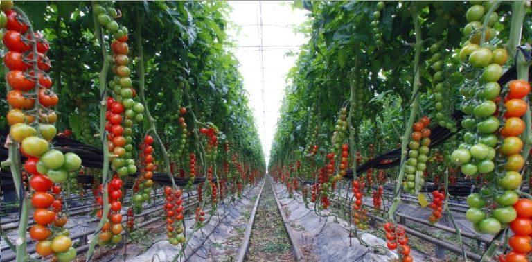 Укоренив таким образом свои томаты, помните, что обширная корневая система требует более внимательного ухода