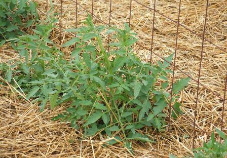 Мульчирование помидор в теплице проводят с целью сохранения влаги в прикорневой зоне растения