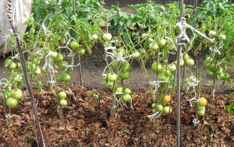 Мульчирование томатов в теплице улучшает плотность сложения почвы, в результате чего томат быстрее развивается, и повышается его плодородность