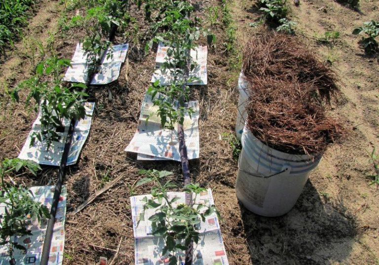 Мульчирование почвы создает благоприятные условия для роста и развития томатов, способствует формированию крупных плодов с хорошими вкусовыми качествами