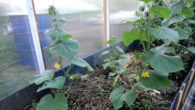 Некоторые овощеводы считают, что обрывать побочные побеги не следует. Такое мнение вполне целесообразно только в случае, если в теплице разводят одностебельный сорт или гибрид