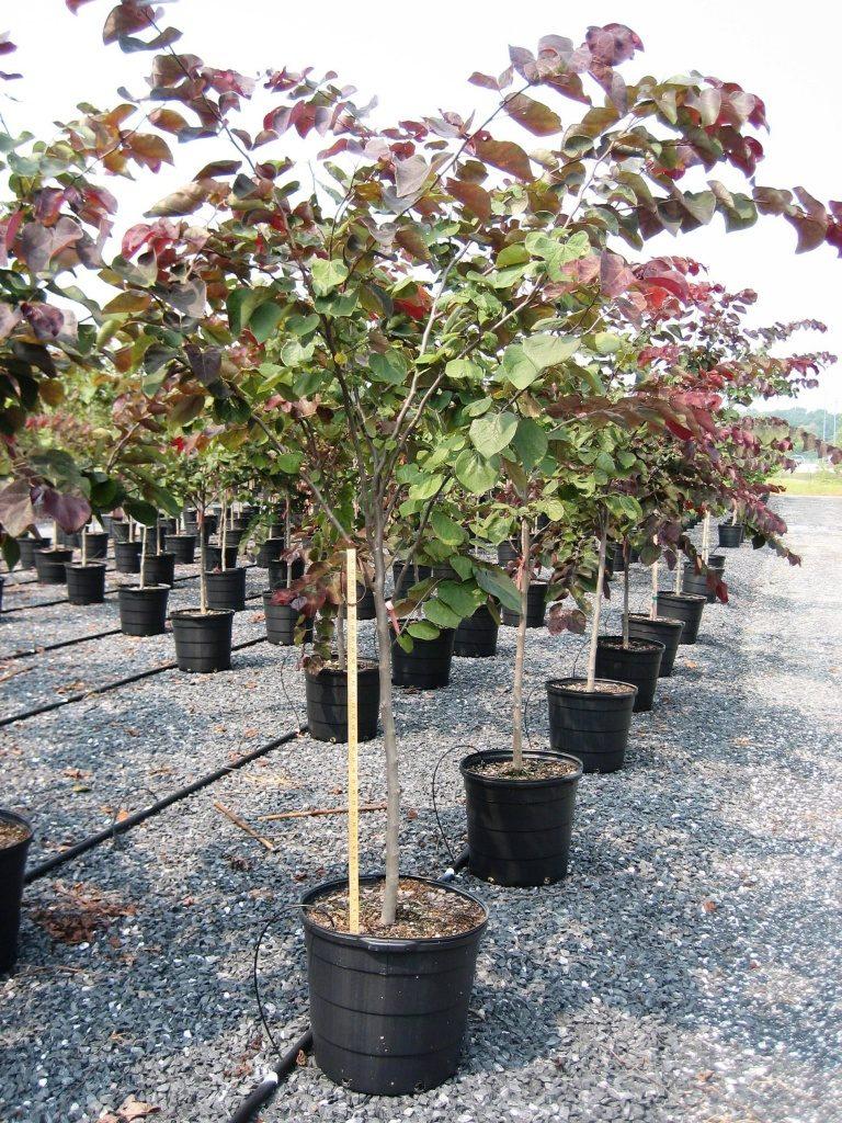 Саженцы груш, яблонь и смородины хорошо укореняются, прекрасно растут