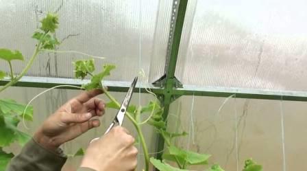 От выбранного времени обрезания и места расположения листьев зависит последующий урожай и скорость его получения