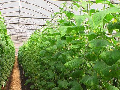 Редко кто из дачников не выращивает на своем участке такую распространенную культуру, как огурцы