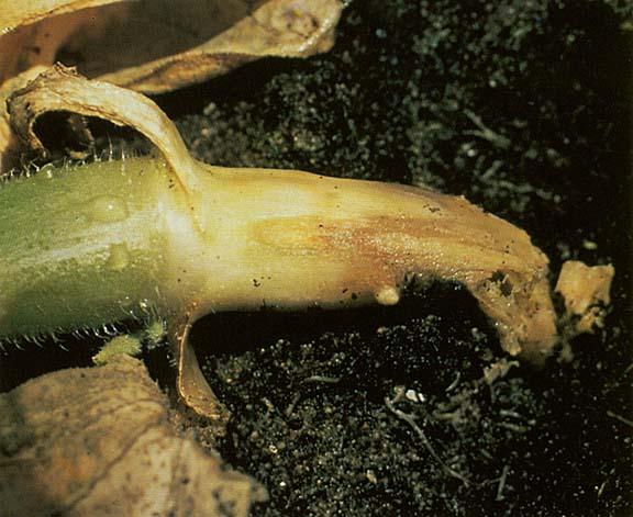 Гниль корневая — эта болезнь способна поразить посевы огурцов в теплице и на открытой грядке