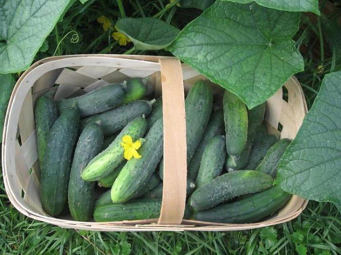 Внимательно следя за состоянием растений и не игнорируя внешние симптомы недостатка тех или иных полезных веществ, каждый дачник может контролировать урожай