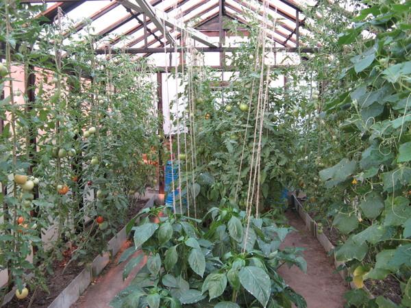 Огурцы и помидоры совместить достаточно тяжело, помидоры требуют высоты, а огурцы широкого пространства