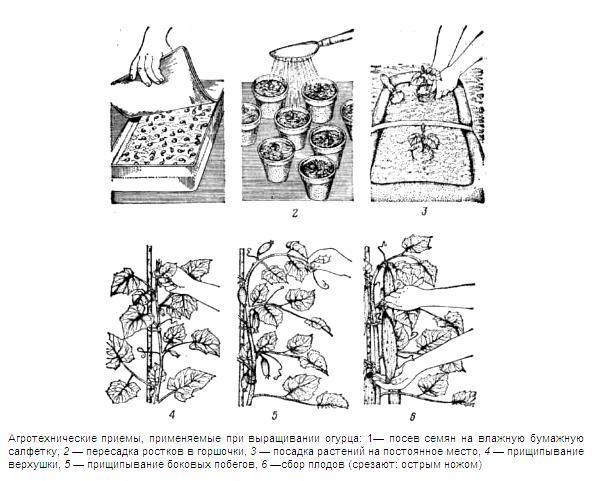 Для получения раннего урожая, выращивание огурцов в рассматриваемой местности чаще всего осуществляется посредством рассады