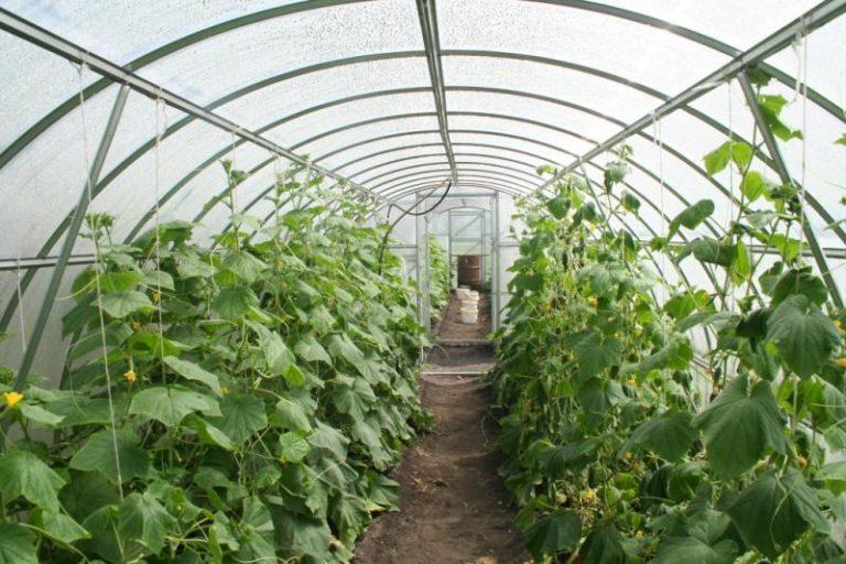 На Урале выращивать огурцы не так сложно, как может показаться на первый взгляд
