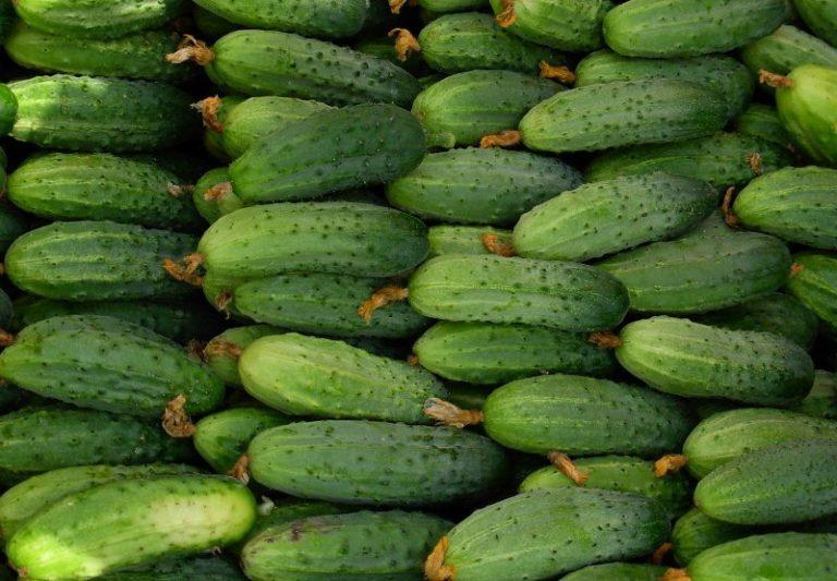 Чтобы иметь отличный и привлекательный на вид урожай огурцов нужно соблюдать правила полива, удобрять растение, опрыскивать и защищать от вредителей