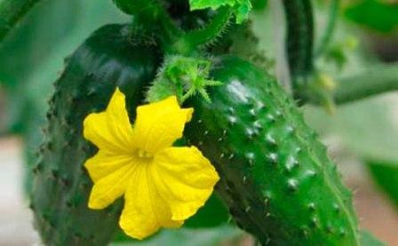 В парнике для культурных растений созданы все условия, благодаря которым они могут плодоносить гораздо дольше