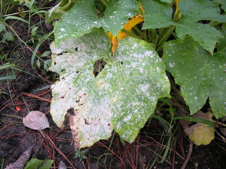 Это заболевание носит название мучнистая роса, и при игнорировании его могут пропасть все труды, как и сам урожай