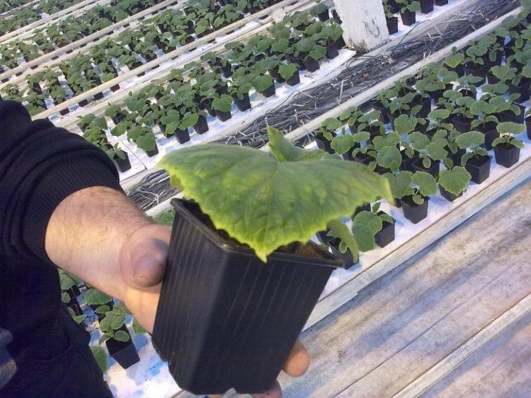 Если частично огурцы или листья в ходе выращивания приобрели непривычный окрас или вовсе испортились, важно своевременно правильно определить болезнь